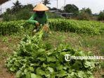 petani-memanen-sayur-di-kebun-jalan-kartama-sayuran-hijau_20180914_153756.jpg
