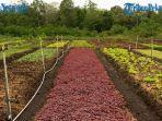petani-sayur-organik-di-rimbo-panjang-beromset-rp-150-juta-ternyata-ini-rahasianya.jpg