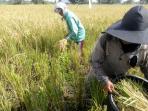 petani-yang-tergabung-dalam-kelompok-tani-lintas-bono-desa-petodaan_20161106_163032.jpg
