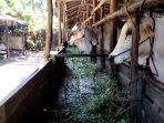 peternak-lokal-mulai-penuhi-kebutuhan-hewan-kurban-di-riau.jpg