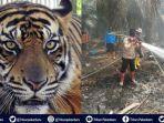 petugas-pemadam-karhutla-di-riau-bertemu-harimau-sumatera-warga-diimbau-tidak-masuk-hutan.jpg