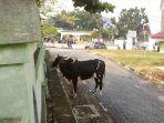 sapi-yang-menyeruduk-petugas-qurban-di-halaman-masjid-annur-pekanbaru.jpg