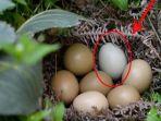 sarang-telur-yang-ditemukan-di-hutan_20170613_234607.jpg
