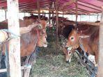 satu-lokasi-penjualan-sapi-kurban-di-kota-pekanbaru.jpg
