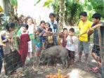 seekor-babi-hutan-tiba-tiba-jinak-dan-tak-mau-pergi-di-desa-karang-waru.jpg