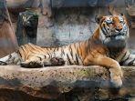 seekor-harimau-sumatera.jpg