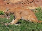 seekor-singa-gunung-sedang-menyantap-mangsanya_20160619_183358.jpg