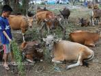 sejumlah-sapi-untuk-kurban-ditawarkan-di-sebuah-lapangan_20160830_163007.jpg