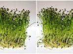 selada-air-adalah-sayuran-yang-memiliki-banyak-manfaat.jpg