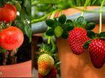 tanaman-buah-di-dalam-pot.jpg