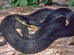 telur-ular-perawan-menetaskan-anak_20150923_165825.jpg