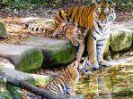 tiga-harimau-di-ladang.jpg