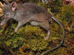 tikus-unik-hanya-ada-tiga-ekor-di-dunia.jpg
