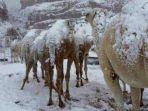 tubuh-unta-ditutupi-salju-yang-turun-di-arab-saudi.jpg