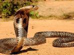 ular-king-kobra.jpg