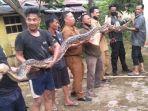 ular-piton-di-kantor-kesbangpol-pelalawan.jpg