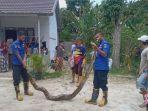 ular-piton-sepanjang-5-meter-di-payakumbuh.jpg