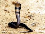 ular-sendok-kobra-tedung_20160519_170836.jpg