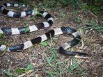 ular-weling.jpg