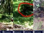 video-penampakan-harimau-sumatera-di-kebun-kelapa-sawit-di-riau-sempat-hebohkan-warga.jpg