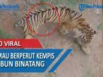 viral-harimau-berperut-kempis-dikebun-binatang.jpg