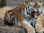 warga-diterkam-harimau.jpg
