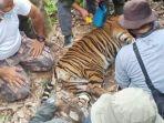 warga-temukan-seekor-harimau-sumatera-terjerat-di-dalam-perkebunan.jpg