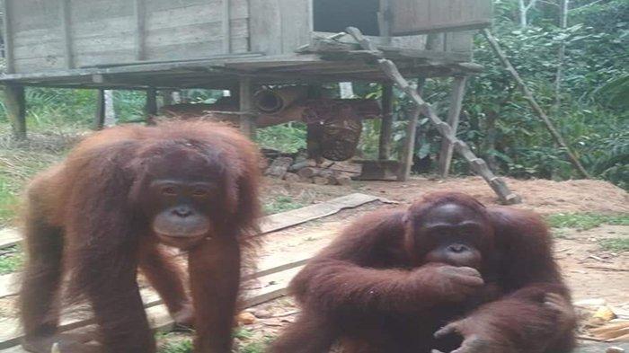 Dua Kali Orangutan Masuk Pemukiman, Warga Resah dan Takut Pergi ke Ladang