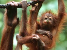 Orangutan di Dusun Kepayang, Berhasil Diselamatkan