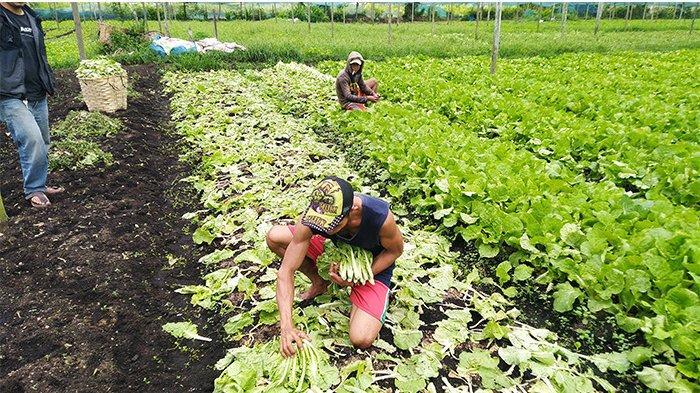 Harga Sayuran Anjlok, Petani Sayur di Pontianak Utara Alami Kerugian Besar