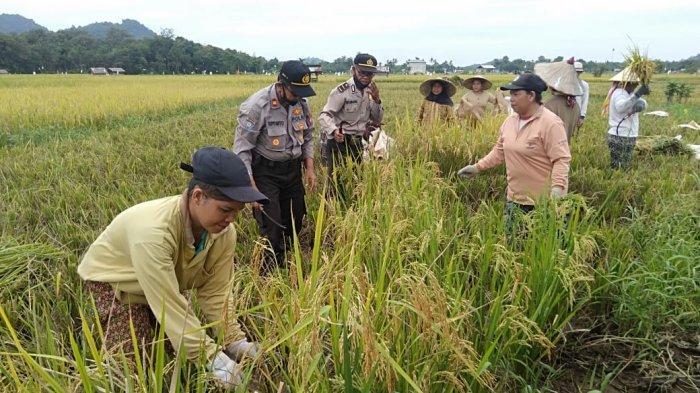 Pererat Tali Silaturahmi Bersama Warga, Kasat Binmas Polres Singkawang Bantu Petani Panen Padi