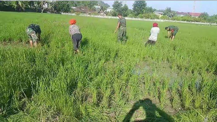 Sukseskan Swasembada Pangan, Koramil 1202-11 Singkawang Bantu Poktan Bersihkan Gulma