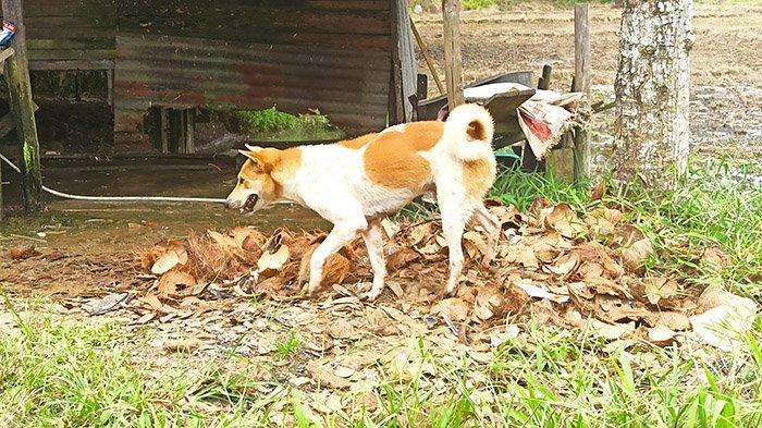 Empat Warganya Digigit Anjing Gila, Lurah Nyarumkop: Kondisi Mereka Baik