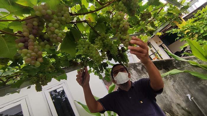 Warga Pontianak Berhasil Budidayakan Anggur Manis Di Halaman Rumah