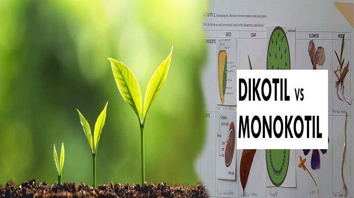 APA FUNGSI Akar ? Inilah Ciri - ciri Tumbuhan Dikotil dan Monokotil