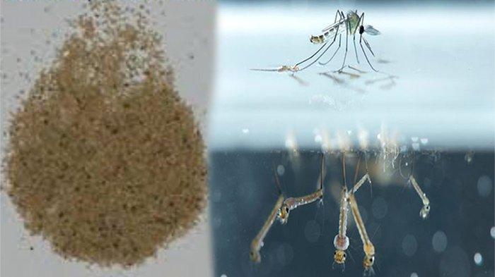 Apa Nama Obat Untuk Membunuh Jentik-jentik Nyamuk di Air ? Ini Cara Menggunakan Abate yang Benar
