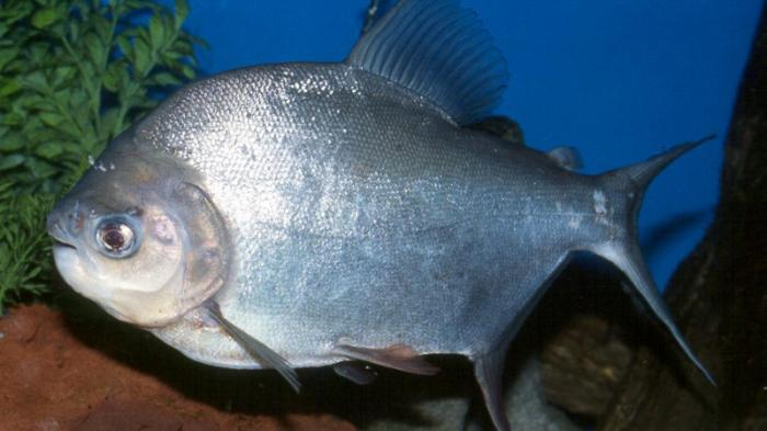 Ikan Predator Ini Sebaiknya Tidak Dibudidayakan Tribun Pontianak