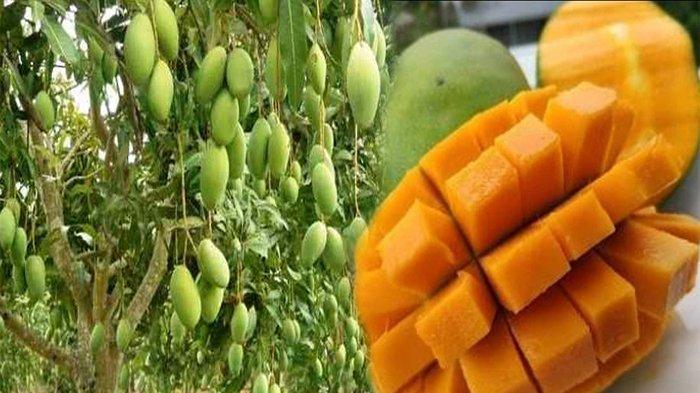 BUAH Mangga Mengandung Vitamin? Ini Hama Yang Menyerang Pohon Mangga