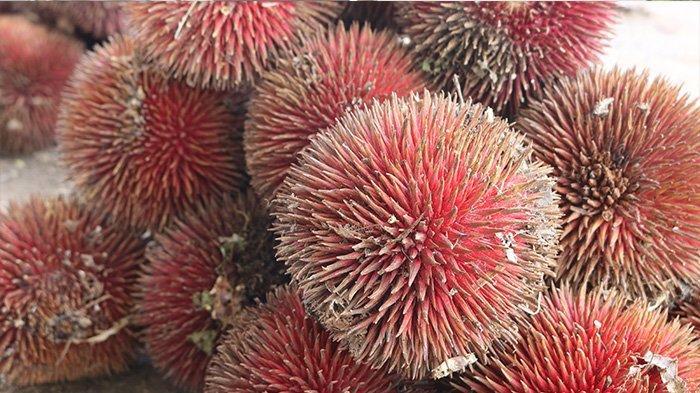Keunikan Buah Langka Asal Kalimantan Mirip Durian Warna Merah, Manis,Berbuah 2-5 Tahun Sekali