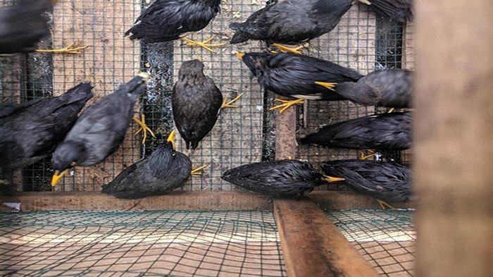 Fenomena Aneh, Ribuan Burung Pipit Berjatuhan di Bali Ini Dugaan Penyebab dan Analisanya