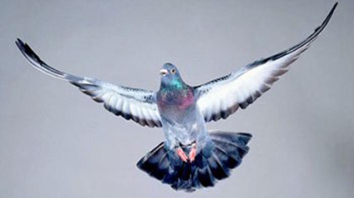 5 Burung Termahal Dunia Seharga 14 Juta Hingga 84 Miliar Rupiah! Kacer Milik Een Masuk Dua Termahal