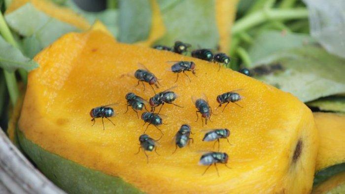 Cara Membasmi Lalat di Rumah dengan Bahan Alami, Makanan di Dapur Dijamin Bebas Kuman