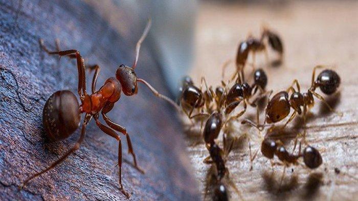 Cara Mengusir Semut di Rumah, Hanya dengan 2 Bahan Murah Ini Semut 'Bye-Bye'