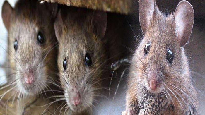 CARA Usir Tikus dengan Mentega, Cara Jitu Tanpa Ribet Tikus Langsung Kabur