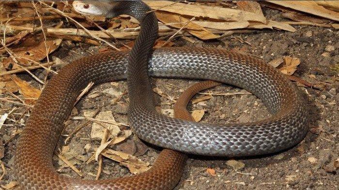 DANGER! Satu Gigitan Ular Ini Bisa Bunuh 100 Manusia, Paling Mematikan di Dunia Lebihi King Kobra