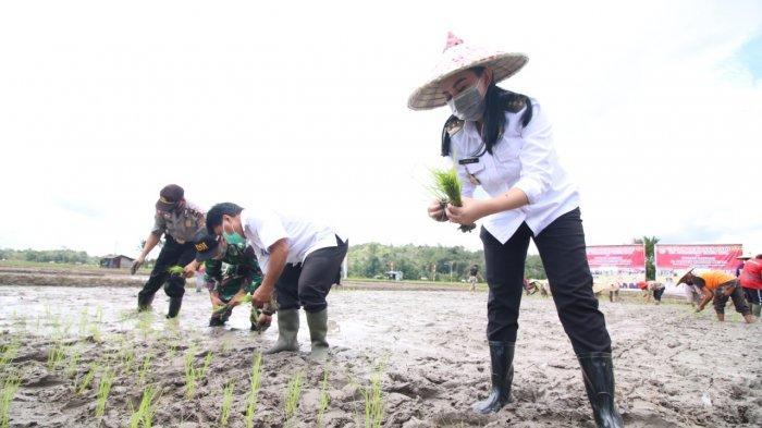 Bupati Landak Karolin Margret Natasa Tanam Padi di Sebangki dan Motivasi Para Petani