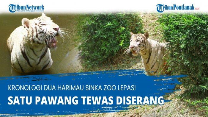 SINKA Zoo Kebun Binatang Singkawang - Tragedi Harimau Lepas, Ada Hujan & Longsor | Pawang Diterkam
