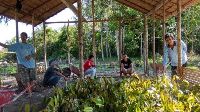 Tanam 500 Bibit Durian di Kaki Gunung Palung