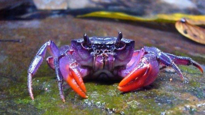 Fakta Menarik Kepiting - Bisa Berubah Warna hingga Capitan Nyaris Sekuat Gigi Singa