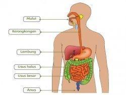 Fungsi Organ Pencernaan dan Gambar Struktur Sistem Pencernaan Manusia